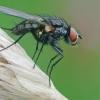 Žiedenė - Botanophila cf. fugax   Fotografijos autorius : Gintautas Steiblys   © Macrogamta.lt   Šis tinklapis priklauso bendruomenei kuri domisi makro fotografija ir fotografuoja gyvąjį makro pasaulį.