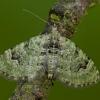Žiedinė sprindenė - Chloroclystis v-ata | Fotografijos autorius : Žilvinas Pūtys | © Macrogamta.lt | Šis tinklapis priklauso bendruomenei kuri domisi makro fotografija ir fotografuoja gyvąjį makro pasaulį.
