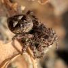 Žiedinis dėmėtšoklis - Sitticus floricola | Fotografijos autorius : Ramunė Vakarė | © Macrogamta.lt | Šis tinklapis priklauso bendruomenei kuri domisi makro fotografija ir fotografuoja gyvąjį makro pasaulį.