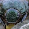Žiedinis grambuolys - Anomala dubia | Fotografijos autorius : Žilvinas Pūtys | © Macrogamta.lt | Šis tinklapis priklauso bendruomenei kuri domisi makro fotografija ir fotografuoja gyvąjį makro pasaulį.