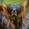 Žiedmusė - Chalcosyrphus femoratus ♀ | Fotografijos autorius : Žilvinas Pūtys | © Macrogamta.lt | Šis tinklapis priklauso bendruomenei kuri domisi makro fotografija ir fotografuoja gyvąjį makro pasaulį.