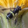 Žiedmusė - Chrysotoxum bicinctum | Fotografijos autorius : Žilvinas Pūtys | © Macrogamta.lt | Šis tinklapis priklauso bendruomenei kuri domisi makro fotografija ir fotografuoja gyvąjį makro pasaulį.