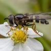 Žiedmusė - Dasysyrphus tricinctus ♀ | Fotografijos autorius : Žilvinas Pūtys | © Macrogamta.lt | Šis tinklapis priklauso bendruomenei kuri domisi makro fotografija ir fotografuoja gyvąjį makro pasaulį.