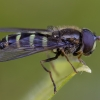 Žiedmusė - Dasysyrphus venustus ♂ | Fotografijos autorius : Žilvinas Pūtys | © Macrogamta.lt | Šis tinklapis priklauso bendruomenei kuri domisi makro fotografija ir fotografuoja gyvąjį makro pasaulį.