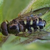 Žiedmusė - Dasysyrphus venustus | Fotografijos autorius : Žilvinas Pūtys | © Macrogamta.lt | Šis tinklapis priklauso bendruomenei kuri domisi makro fotografija ir fotografuoja gyvąjį makro pasaulį.