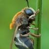 Žiedmusė - Microdon mutabilis | Fotografijos autorius : Žilvinas Pūtys | © Macrogamta.lt | Šis tinklapis priklauso bendruomenei kuri domisi makro fotografija ir fotografuoja gyvąjį makro pasaulį.