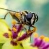 Žiedmusė - helophilus pendulus | Fotografijos autorius : Oskaras Venckus | © Macrogamta.lt | Šis tinklapis priklauso bendruomenei kuri domisi makro fotografija ir fotografuoja gyvąjį makro pasaulį.
