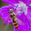 Žiedmusė | Episyrphus balteatus | Fotografijos autorius : Darius Baužys | © Macrogamta.lt | Šis tinklapis priklauso bendruomenei kuri domisi makro fotografija ir fotografuoja gyvąjį makro pasaulį.