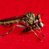 Žiedmusė ir plėšriamusė -  Syrphidae et Tolmerus cingulatus  | Fotografijos autorius : Irenėjas Urbonavičius | © Macrogamta.lt | Šis tinklapis priklauso bendruomenei kuri domisi makro fotografija ir fotografuoja gyvąjį makro pasaulį.