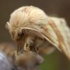 Žolinis verpikas - Malacosoma castrensis | Fotografijos autorius : Ramunė Vakarė | © Macrogamta.lt | Šis tinklapis priklauso bendruomenei kuri domisi makro fotografija ir fotografuoja gyvąjį makro pasaulį.