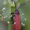 Žiedvabalis - Lygistopterus sanguineus | Fotografijos autorius : Žilvinas Pūtys | © Macrogamta.lt | Šis tinklapis priklauso bendruomenei kuri domisi makro fotografija ir fotografuoja gyvąjį makro pasaulį.