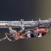 Žievėgraužinis keršvabalis - Thanasimus femoralis | Fotografijos autorius : Kazimieras Martinaitis | © Macrogamta.lt | Šis tinklapis priklauso bendruomenei kuri domisi makro fotografija ir fotografuoja gyvąjį makro pasaulį.