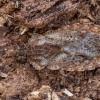 Žieviablakė - Aradus pictus  ♂ | Fotografijos autorius : Žilvinas Pūtys | © Macrogamta.lt | Šis tinklapis priklauso bendruomenei kuri domisi makro fotografija ir fotografuoja gyvąjį makro pasaulį.