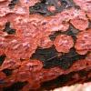 Gluosninė citidija - Cytidia salicina | Fotografijos autorius : Aleksandras Stabrauskas | © Macrogamta.lt | Šis tinklapis priklauso bendruomenei kuri domisi makro fotografija ir fotografuoja gyvąjį makro pasaulį.