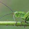 Žiogas - Tettigoniidae, nimfa | Fotografijos autorius : Gintautas Steiblys | © Macrogamta.lt | Šis tinklapis priklauso bendruomenei kuri domisi makro fotografija ir fotografuoja gyvąjį makro pasaulį.