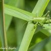 Žiogas Orthoptera | Fotografijos autorius : Aleksandras Naryškin | © Macrogamta.lt | Šis tinklapis priklauso bendruomenei kuri domisi makro fotografija ir fotografuoja gyvąjį makro pasaulį.