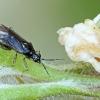 Juodpilkė žolblakė - Dicyphus globulifer | Fotografijos autorius : Gintautas Steiblys | © Macrogamta.lt | Šis tinklapis priklauso bendruomenei kuri domisi makro fotografija ir fotografuoja gyvąjį makro pasaulį.