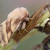 Žolinis verpikas - Malacosoma castrensis | Fotografijos autorius : Arūnas Eismantas | © Macrogamta.lt | Šis tinklapis priklauso bendruomenei kuri domisi makro fotografija ir fotografuoja gyvąjį makro pasaulį.