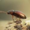 Slapūnvabalis ? | Fotografijos autorius : Vidas Brazauskas | © Macrogamta.lt | Šis tinklapis priklauso bendruomenei kuri domisi makro fotografija ir fotografuoja gyvąjį makro pasaulį.