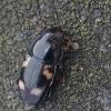 Žvilgvabalis - Glischrochilus quadrisignatus | Fotografijos autorius : Gintautas Steiblys | © Macrogamta.lt | Šis tinklapis priklauso bendruomenei kuri domisi makro fotografija ir fotografuoja gyvąjį makro pasaulį.