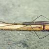 Ranatra linearis - Ilgoji skorpionblakė | Fotografijos autorius : Darius Baužys | © Macrogamta.lt | Šis tinklapis priklauso bendruomenei kuri domisi makro fotografija ir fotografuoja gyvąjį makro pasaulį.