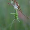 Žaliasis žiogas - Tettigonia viridissima | Fotografijos autorius : Zita Gasiūnaitė | © Macrogamta.lt | Šis tinklapis priklauso bendruomenei kuri domisi makro fotografija ir fotografuoja gyvąjį makro pasaulį.