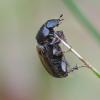 Afodijus - Volinus sticticus | Fotografijos autorius : Romas Ferenca | © Macrogamta.lt | Šis tinklapis priklauso bendruomenei kuri domisi makro fotografija ir fotografuoja gyvąjį makro pasaulį.