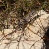 Agama - Amphibolurus muricatus | Fotografijos autorius : Žilvinas Pūtys | © Macrogamta.lt | Šis tinklapis priklauso bendruomenei kuri domisi makro fotografija ir fotografuoja gyvąjį makro pasaulį.