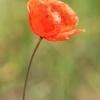 Aguona birulė - Papaver rhoeas | Fotografijos autorius : Gintautas Steiblys | © Macrogamta.lt | Šis tinklapis priklauso bendruomenei kuri domisi makro fotografija ir fotografuoja gyvąjį makro pasaulį.