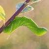 Akiuotasis sfinksas - Smerinthus ocellata | Fotografijos autorius : Eglė Vičiuvienė | © Macrogamta.lt | Šis tinklapis priklauso bendruomenei kuri domisi makro fotografija ir fotografuoja gyvąjį makro pasaulį.