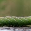 Akiuotasis sfinksas - Smerinthus ocellatus | Fotografijos autorius : Gediminas Gražulevičius | © Macrogamta.lt | Šis tinklapis priklauso bendruomenei kuri domisi makro fotografija ir fotografuoja gyvąjį makro pasaulį.