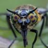 Aklys - Chrysops caecutiens ♀ | Fotografijos autorius : Žilvinas Pūtys | © Macrogamta.lt | Šis tinklapis priklauso bendruomenei kuri domisi makro fotografija ir fotografuoja gyvąjį makro pasaulį.