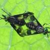 Aklys - Chrysops sp. | Fotografijos autorius : Agnė Našlėnienė | © Macrogamta.lt | Šis tinklapis priklauso bendruomenei kuri domisi makro fotografija ir fotografuoja gyvąjį makro pasaulį.