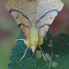 Alksninis geltonsprindis - Ennomos alniaria  | Fotografijos autorius : Arūnas Eismantas | © Macrogamta.lt | Šis tinklapis priklauso bendruomenei kuri domisi makro fotografija ir fotografuoja gyvąjį makro pasaulį.