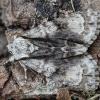 Alksninis strėlinukas - Acronicta alni | Fotografijos autorius : Žilvinas Pūtys | © Macrogamta.lt | Šis tinklapis priklauso bendruomenei kuri domisi makro fotografija ir fotografuoja gyvąjį makro pasaulį.