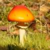 Paprastoji musmirė - Amanita muscaria var. aureola  | Fotografijos autorius : Vytautas Gluoksnis | © Macrogamta.lt | Šis tinklapis priklauso bendruomenei kuri domisi makro fotografija ir fotografuoja gyvąjį makro pasaulį.