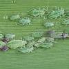 Slyvinis miltamaris - Hyalopterus pruni | Fotografijos autorius : Gintautas Steiblys | © Macrogamta.lt | Šis tinklapis priklauso bendruomenei kuri domisi makro fotografija ir fotografuoja gyvąjį makro pasaulį.