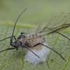 Amarinis vytis - Aphidiidae, kokonas | Fotografijos autorius : Žilvinas Pūtys | © Macrogamta.lt | Šis tinklapis priklauso bendruomenei kuri domisi makro fotografija ir fotografuoja gyvąjį makro pasaulį.