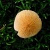 Amiantinė šlakabudė - Cystoderma amianthinum var. rugosoreticulatum | Fotografijos autorius : Aleksandras Stabrauskas | © Macrogamta.lt | Šis tinklapis priklauso bendruomenei kuri domisi makro fotografija ir fotografuoja gyvąjį makro pasaulį.