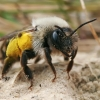 Smėliabitė - Andrena vaga | Fotografijos autorius : Gintautas Steiblys | © Macrogamta.lt | Šis tinklapis priklauso bendruomenei kuri domisi makro fotografija ir fotografuoja gyvąjį makro pasaulį.