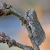 Ankstyvasis pūkanugaris - Achlya flavicornis   Fotografijos autorius : Arūnas Eismantas   © Macrogamta.lt   Šis tinklapis priklauso bendruomenei kuri domisi makro fotografija ir fotografuoja gyvąjį makro pasaulį.