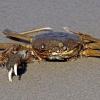 Apželtkojis krabas - Eriocheir sinensis | Fotografijos autorius : Elmaras Duderis | © Macrogamta.lt | Šis tinklapis priklauso bendruomenei kuri domisi makro fotografija ir fotografuoja gyvąjį makro pasaulį.