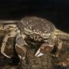 Apželtkojis krabas - Eriocheir sinensis   Fotografijos autorius : Žilvinas Pūtys   © Macrogamta.lt   Šis tinklapis priklauso bendruomenei kuri domisi makro fotografija ir fotografuoja gyvąjį makro pasaulį.