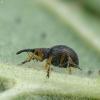 Apionas - Protapion fulvipes ♀ | Fotografijos autorius : Vidas Brazauskas | © Macrogamta.lt | Šis tinklapis priklauso bendruomenei kuri domisi makro fotografija ir fotografuoja gyvąjį makro pasaulį.