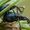 Apionas - Taphrotopium sulcifrons   Fotografijos autorius : Žilvinas Pūtys   © Macrogamta.lt   Šis tinklapis priklauso bendruomenei kuri domisi makro fotografija ir fotografuoja gyvąjį makro pasaulį.