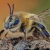 Naminė bitė - Apis mellifera   Fotografijos autorius : Eugenijus Kavaliauskas   © Macrogamta.lt   Šis tinklapis priklauso bendruomenei kuri domisi makro fotografija ir fotografuoja gyvąjį makro pasaulį.
