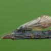 Apsiuva - Brachycentrus subnubilus ♀ | Fotografijos autorius : Žilvinas Pūtys | © Macrogamta.lt | Šis tinklapis priklauso bendruomenei kuri domisi makro fotografija ir fotografuoja gyvąjį makro pasaulį.