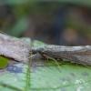 Apsiuva - Hydropsyche angustipennis ♀ | Fotografijos autorius : Žilvinas Pūtys | © Macrogamta.lt | Šis tinklapis priklauso bendruomenei kuri domisi makro fotografija ir fotografuoja gyvąjį makro pasaulį.