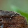 Apsiuva - Hydropsyche contubernalis ♀ | Fotografijos autorius : Žilvinas Pūtys | © Macrogamta.lt | Šis tinklapis priklauso bendruomenei kuri domisi makro fotografija ir fotografuoja gyvąjį makro pasaulį.
