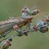 Apsiuva - Limnephilus flavicornis ♀ | Fotografijos autorius : Gintautas Steiblys | © Macrogamta.lt | Šis tinklapis priklauso bendruomenei kuri domisi makro fotografija ir fotografuoja gyvąjį makro pasaulį.
